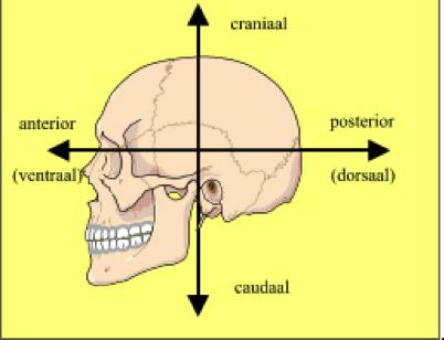 te kleine schedel